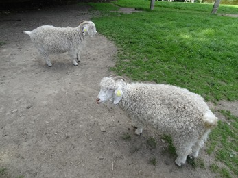 2017.08.06-029 chèvres angoras