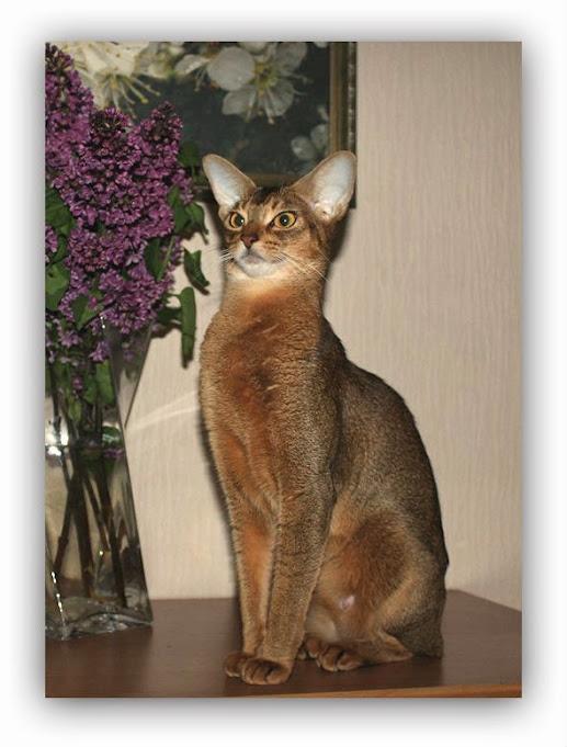 Des Cavalier Feride, abyssinian cat