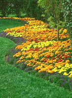 bed of multi-colored marigolds edging a well kept lawn