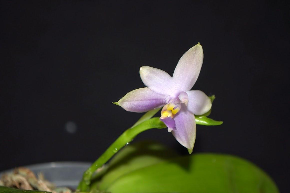 Phalaenopsis violacea 'Malaysian Blue' DSC_0045