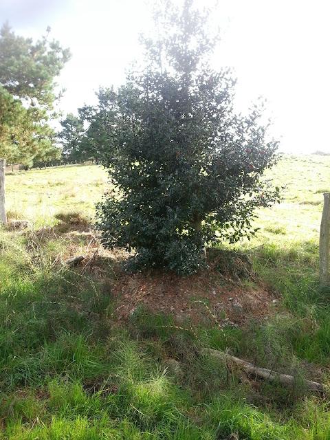 Arbusto de acebo