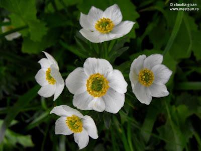 anemone sau oiţe (Anemone narcissiflora) - flori albe de munte
