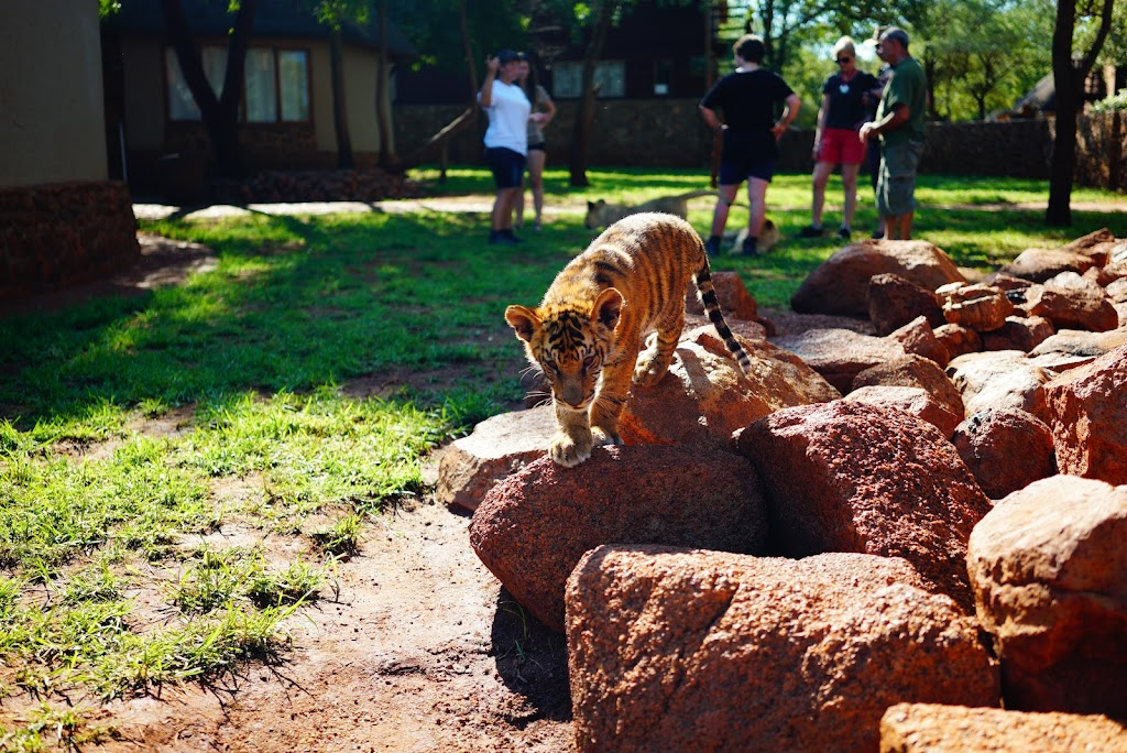 cub interaction at Ukutula Lion Reserach Center in Johannesburg, South Africa