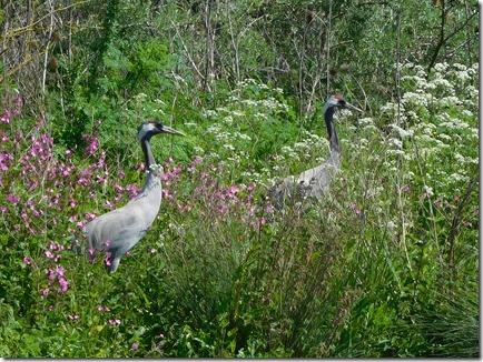 16 breeding cranes