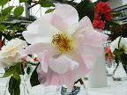 白色地 桃色ぼかし 八重咲き 中輪