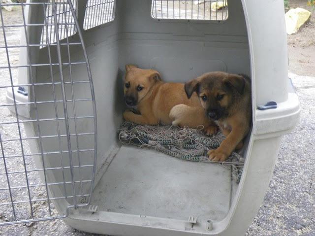 Recuperação de Canídeos (crias) - Lamego