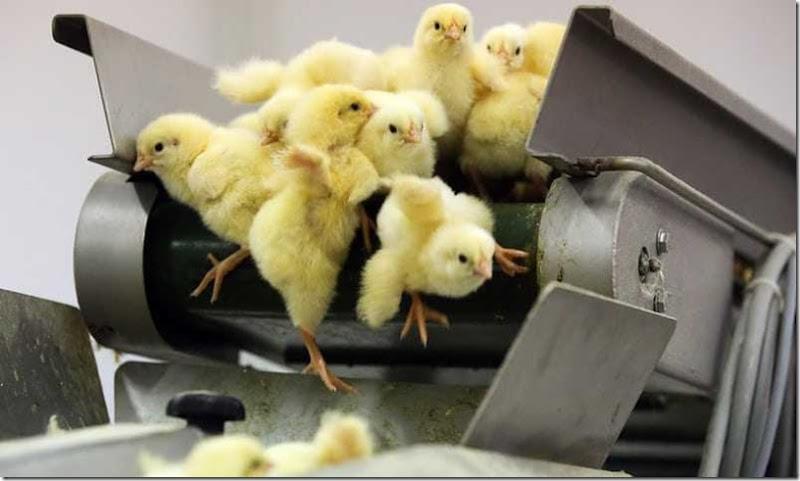 polli pulcini