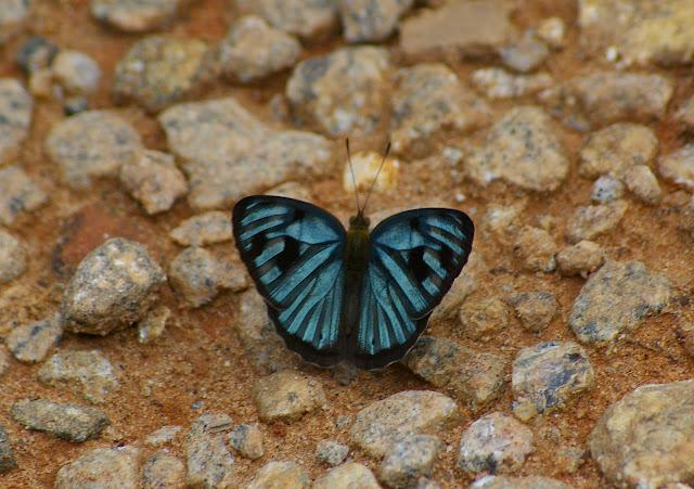 Dynamine postverta CRAMER, 1779, mâle. Piste de Pulso à Caçandoca, 15 février 2011. Photo : J.-M. Gayman