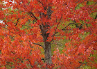 Maple_tree_in_red.jpg