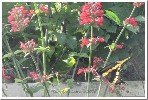 10-27-giant-swallowtail2