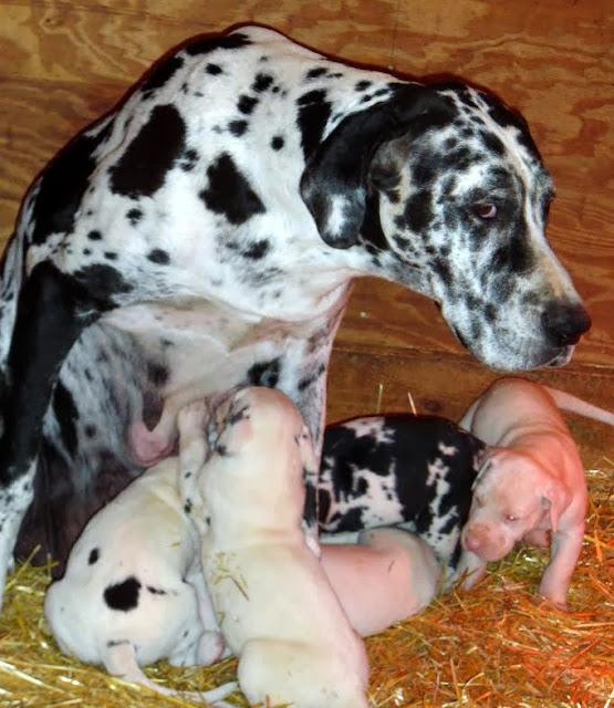 Graysee & puppies @ 4 weeks