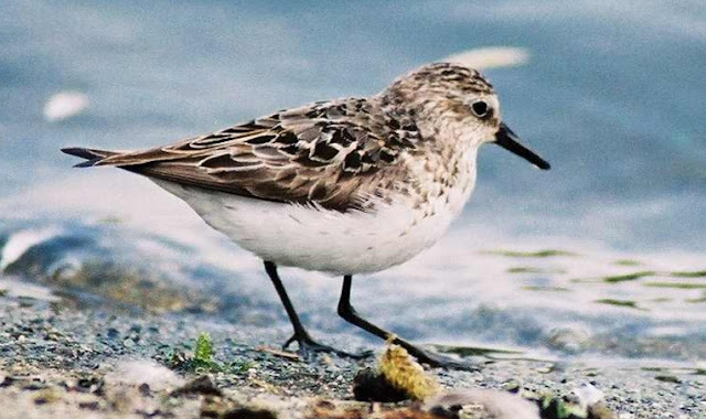 Birds - British Columbia - Sandpiper.jpg