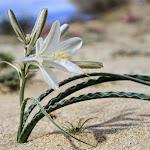 Пустынная лилия