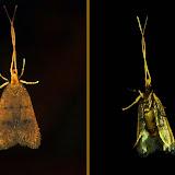 Lecithoceridae : probablement Sarisophora pycnospila TURNER, 1919. Umina Beach (NSW, Australie), 25 avril 2011. Photo : Barbara Kedzierski