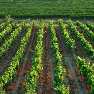 Franc Arman - Vinogradarstvo i vinarstvo