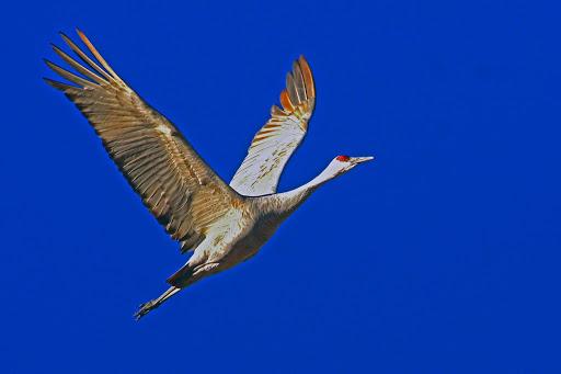 Sandhill crane at Bosque del Apache National Wildlife Refuge. Photo Marvin de Jonge