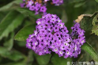 Photo: 拍攝地點: 梅峰-溫帶花卉區 拍攝植物: 香水草 拍攝日期: 2015_11_13_FY