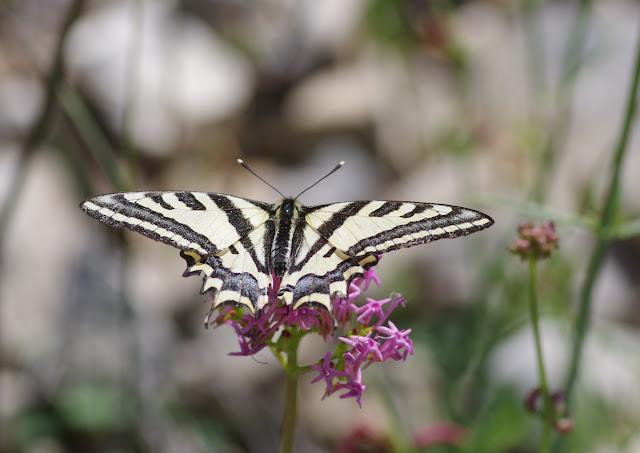 Papilio alexanor alexanor Esper, 1799. Lagarde d'Apt, 1200 m (Vaucluse), 28 juin 2015. Photo : J.-M. Gayman