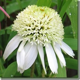 Echninacea white double delight_thumb