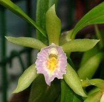 Растения из Тюмени. Краткий обзор - Страница 3 Cischweinfia%252520dasyandra1