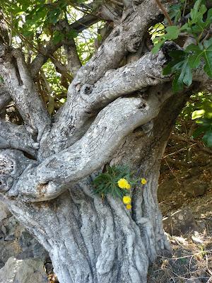 Löwenzahn in einem Baum im Bergland von Gran Canaria.