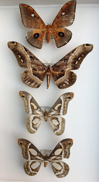Saturniidae (de haut en bas) : Pseudobunaea cleopatra AURIVILLIUS, 1893, Epiphora mineti DARGE, 1994, Epiphora rectifascia ROTHSCHILD, 1907. Brahmaeidae : Dactyloceras lucina DRURY, 1782. Ebogo, avril 2012. Coll. et photo : J.-M. Gayman