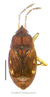 Geratarma manapourensis (holotype specimen). Photo BE Rhode. Citation: Larivière M-C, Larochelle A 2004. Heteroptera (Insecta: Hemiptera): catalogue. Fauna of New Zealand 50: 330 pp.