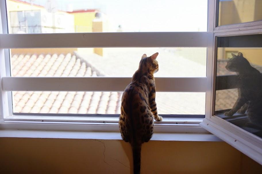 bengal cat window
