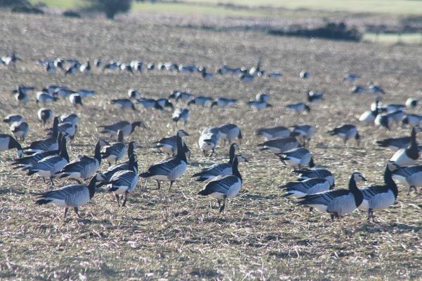 41-barnacle-geese