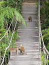 Khao Yai National park - trail to Kong Kaeo - monkey inspection at hanging bridge
