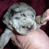 available blue merle girl @ 10 days