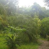 Jardin au bord du Mékong à Jinghong (Xichuangbanna, Yunnan), 30 août 2010. Lieu de passage de nombreuses espèces : T. helena, P. paris, P. memnon, J. celeno, I. pyrene, H. glaucippe, etc. Photo : J.-M. Gayman