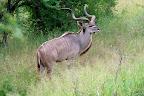 Det er denne flotte kudu-han derimod!