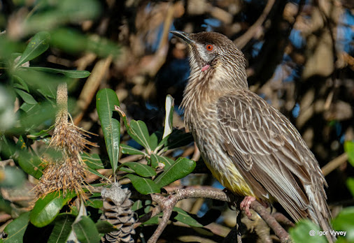 Juvenile red wattlebird I think...first foray with new Fujifilm X-T2 toy, euh I mean tool. Man this ...