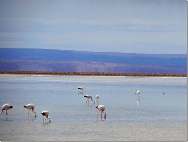 Flamingos-na-Laguna-Chaxa-Atacama