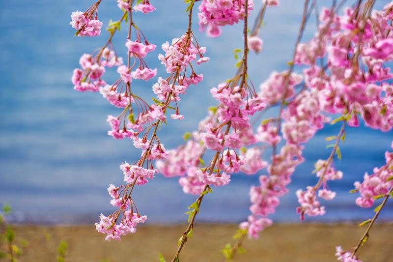 河口湖 長崎公園 桜 写真7