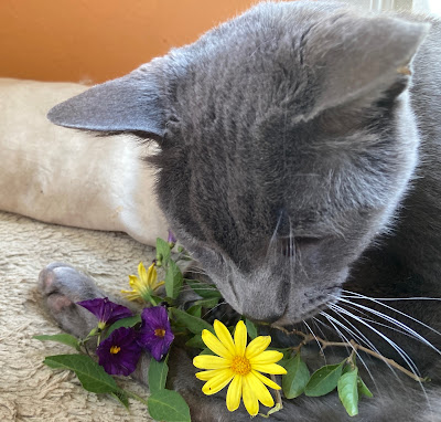 Close-up of grey cat sniffing a yellow flower.