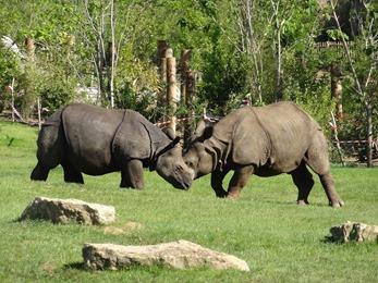 2017.06.17-057 rhinocéros indiens