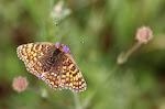 Melitaea phoebe.jpg