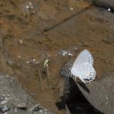 Cupido comyntas texana (F. Chermock, 1945). Macanal, 1368 m (Boyacá, Colombie), 1er novembre 2015. Photo : B. Lalanne-Cassou