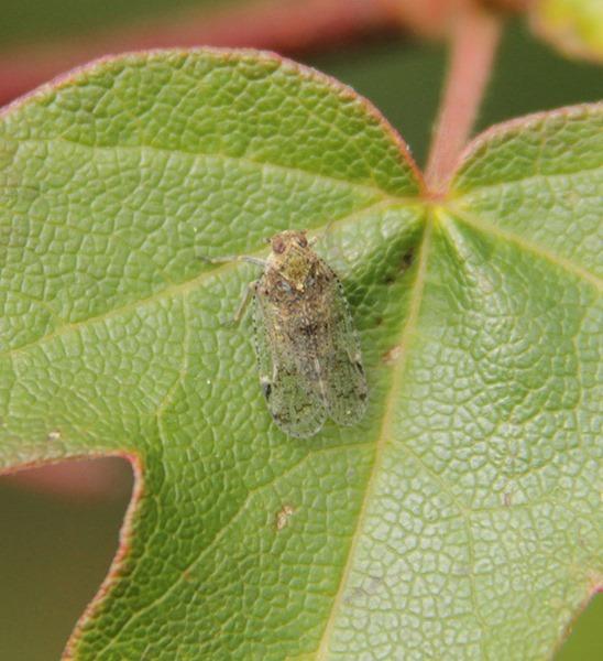 Cixiidae-1