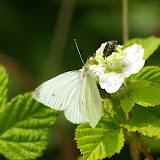 Pieris rapae LINNAEUS, 1758, mâle, première génération. Hautes-Lisières (Rouvres, 28), 10 juin 2010. Photo : J.-M. Gayman