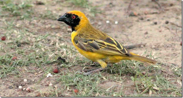 small masked weaver 2