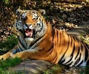 Arti mimpi melihat harimau dan hikmahnya bagi kita