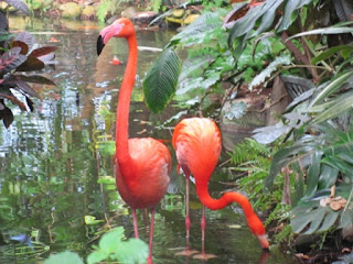 Flamingoes wading in a pond.