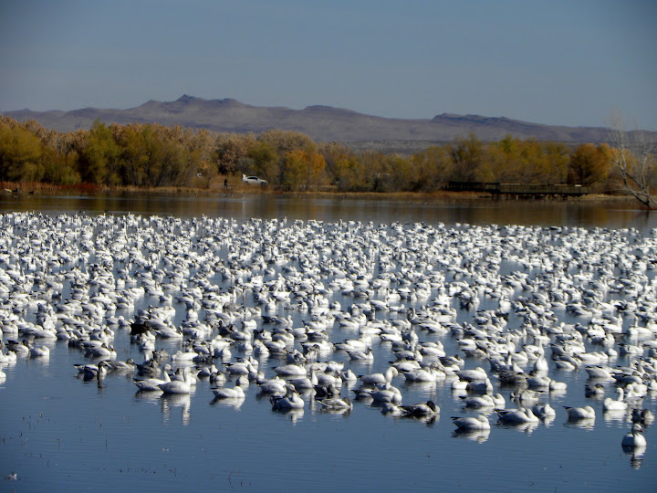 Snow geese rest in the center of a pond at Bosque del Apache National Wildlife Refuge in New Mexico, site of the annual Festival of the Cranes in November. Credit: Bill O'Brian/USFWS