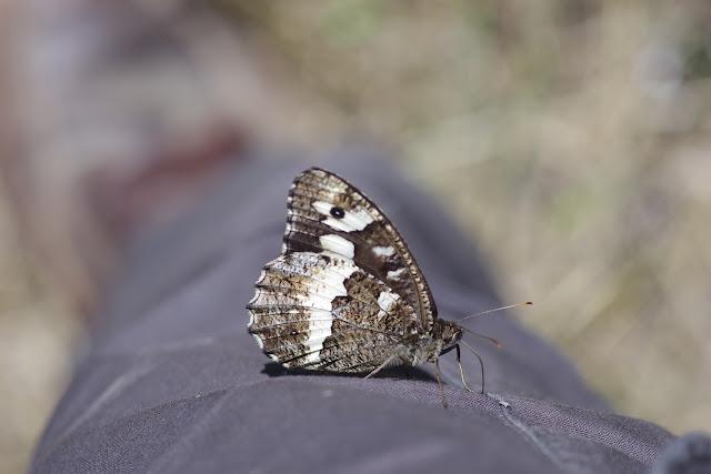 Brintesia circe (Fabricius, 1775). Les Hautes-Courennes (550 m), Saint-Martin-de-Castillon (Vaucluse), 18 juin 2015. Photo : J.-M. Gayman