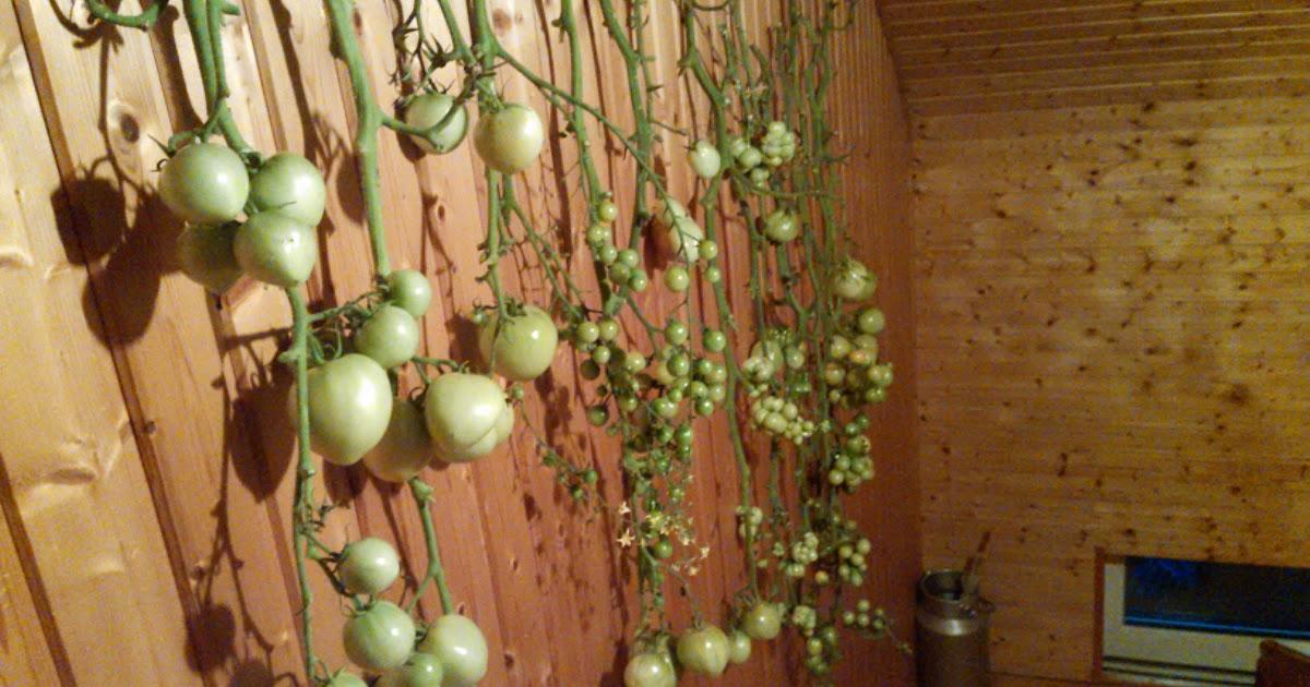 tomaten mark 39 s gartenblog gr ne tomaten nachreifen lassen. Black Bedroom Furniture Sets. Home Design Ideas