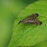 Mecoptera : Panorpidae : Panorpa communis (L., 1758). Les Hautes-Lisières (Rouvres, 28), 13 juin 2012. Photo : J.-M. Gayman