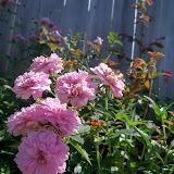 Gardening 2010, Part Two - 101_2603.JPG
